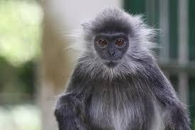 bentley orangutan saigon zoo and botanical gardens photo galleries zoochat
