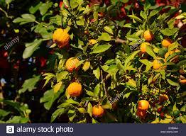 ornamental bitter orange citrus aurantium ssp aurantium
