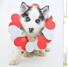 valentine u0027s day puppy stock photo image 49473166