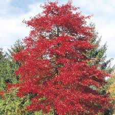 sweetgum trees for sale fast growing trees