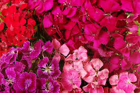 Sweet William Flowers Sweet William Flower Pictures Images And Stock Photos Istock