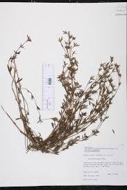 native plants of louisiana stylosanthes biflora species page isb atlas of florida plants