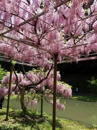 wisteria garden in yamaga kumamoto japan travel tourism