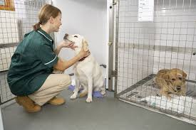 american pitbull terrier heat cycle discharge in dogs symptoms causes diagnosis treatment