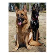 belgian sheepdog brown belgian shepherd gifts on zazzle