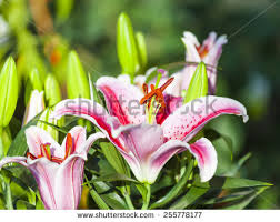 Star Gazer Lily Stargazer Lily Stock Images Royalty Free Images U0026 Vectors