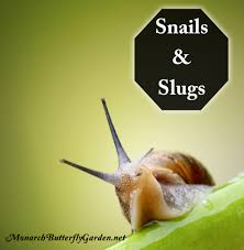 Where Can You Find Snails In Your Backyard Stop Milkweed Pests From Ruining Milkweed For Monarchs