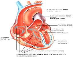 Kalp ile ilgili bilgiler