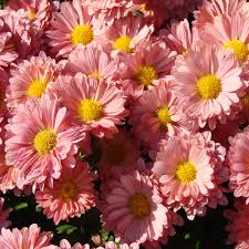 the pink daises free stock photo public domain pictures
