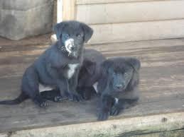 belgian shepherd dog puppies for sale belgian sheepherd dog black belgian shepherd x puppies for sale