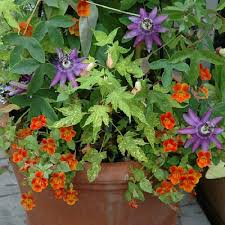 container garden with passion flower ideas container gardens