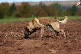 belgian shepherd quebec ipo schutzhund belgian shepherd dog club of canada groenendael