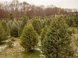 balsam christmas tree 2017 christmas tree buying guide onmilwaukee