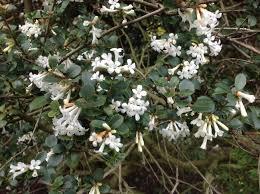 White Trumpet Flower - coronilla the long garden path