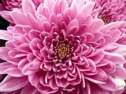 chrysanthemum flower hd wallpaper flowers wallpapers