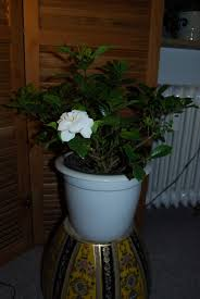 Fragrant Indoor Plants Low Light - care of indoor gardenia u2013 learn how to grow a gardenia indoors