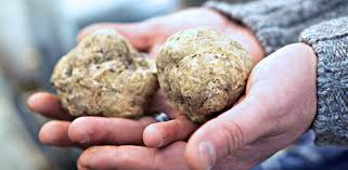 italian white truffle truffle time in italy alba and other festivals l italo