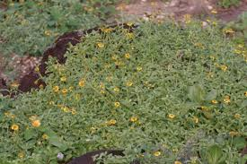 hawaii native plants nehe melanthera integrifolia hawaii horticulture