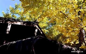 develops rural tourism with ginkgo tree resource in sw