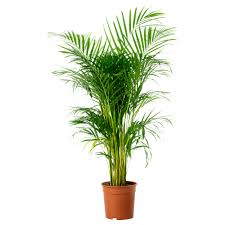 Cute Plant by Indoor Pot Plant 8 Cute Interior And Chrysalidocarpus Lutescens