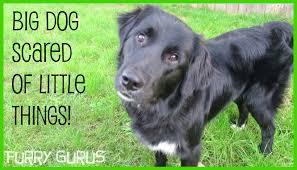 belgian sheepdog border collie mix big dog scared of little things golden retriever border