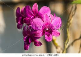 Flower Orchid Orchid Stock Images Royalty Free Images U0026 Vectors Shutterstock