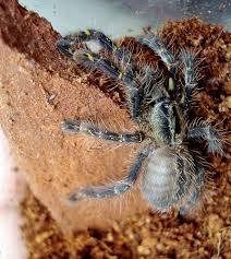 tarantulas flickr