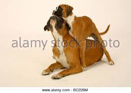 3 month boxer dog german boxer puppy month stock photos u0026 german boxer puppy month