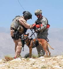 belgian shepherd rescue dogs belgian malinois the breed that bested bin laden baxterboo