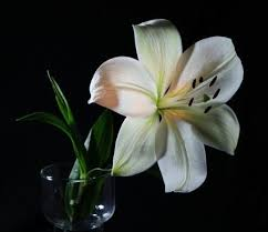 White Lily Flower 14 Best Lily Flower Images On Pinterest Lilies Flowers White