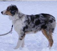 australian shepherd quad cities ghost eye mini aussies about the mini aussie we don u0027t do merle to