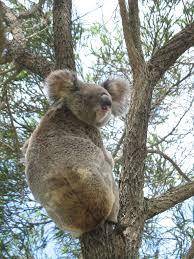 pictures of koalas animal photos