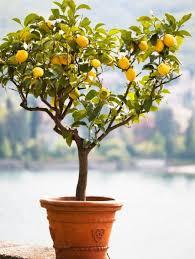 buy fruit trees the tree center