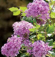 Proven Winners U2013 Flowering Shrubs U2013 Proven Winners U2013 Flowering Shrubs