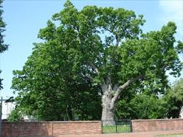 the oldest white oak tree in the country is dying and no one