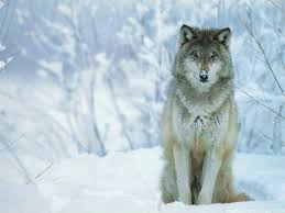 62 best wallpapers images on pinterest wolf wallpaper animals