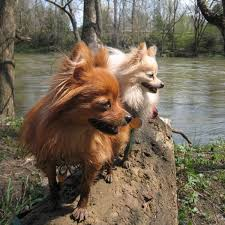 affenpinscher and chihuahua get to know the pomeranian the world u0027s cutest puffball