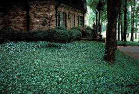 Backyard Ground Cover Options Asiatic Jasmine Erosion Problem And Denser Coverage Lawn Care