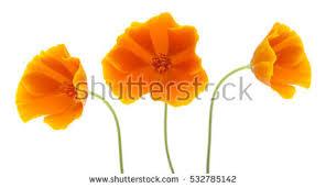 California Poppy California Poppy Stock Images Royalty Free Images U0026 Vectors