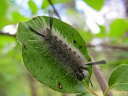 blue jay barrens random caterpillars