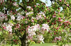 apple blossom in back road journal