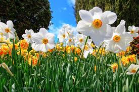 natural flowers daffodils growing in the garden u2014 stock photo