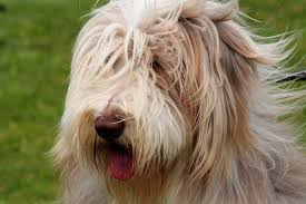 bearded collie mini bearded collie breed and photos and videos list of dogs breeds