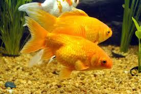 ornamental fish hashtag on