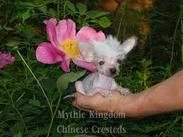 affenpinscher for sale near me world u0027s smallest chinese crested and mi ki puppies dogs for sale