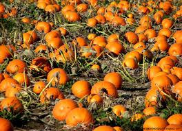 autumn pumpkin wallpaper fall pumpkin desktop backgrounds