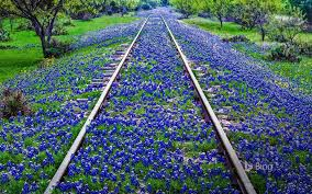 today u0027s bing image of the day is texas bluebonnets texas