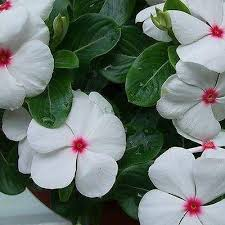 vinca flower periwinkle bright flower seeds vinca rosea the sun