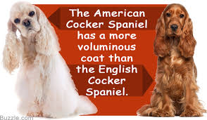 imagenes de english cocker spaniel striking differences between american and english cocker spaniels