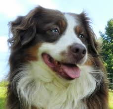 australian shepherd up for adoption mini up for adoption kicks and giggles mini aussies